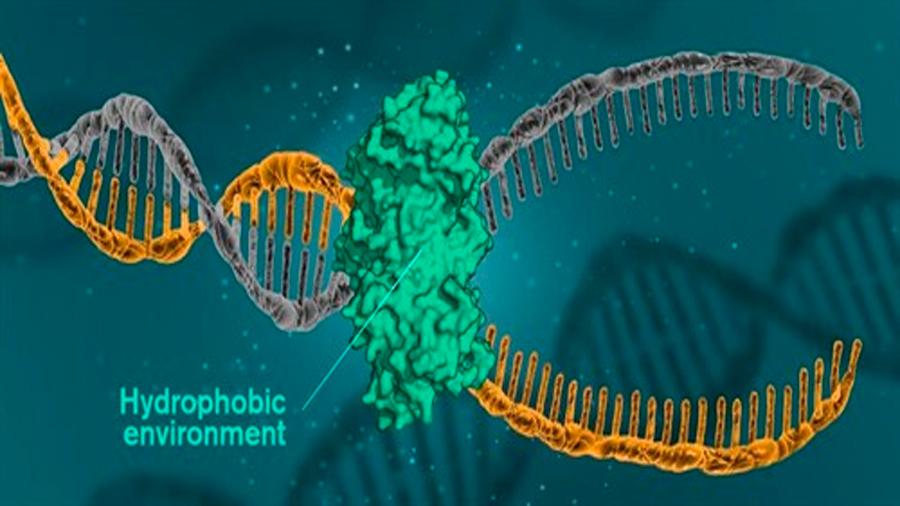 El ADN se mantiene unido por fuerzas hidrofóbicas