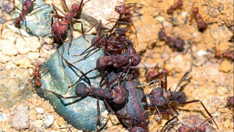 Estas hormigas podrían ayudar a resolver el problema de la resistencia a antibióticos