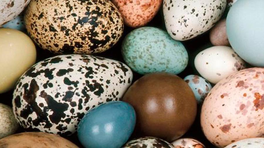 Resuelven el enigma de por qué los huevos son de colores diferentes