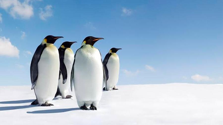 Secuencian el genoma de todas las especies de pingüino vivas