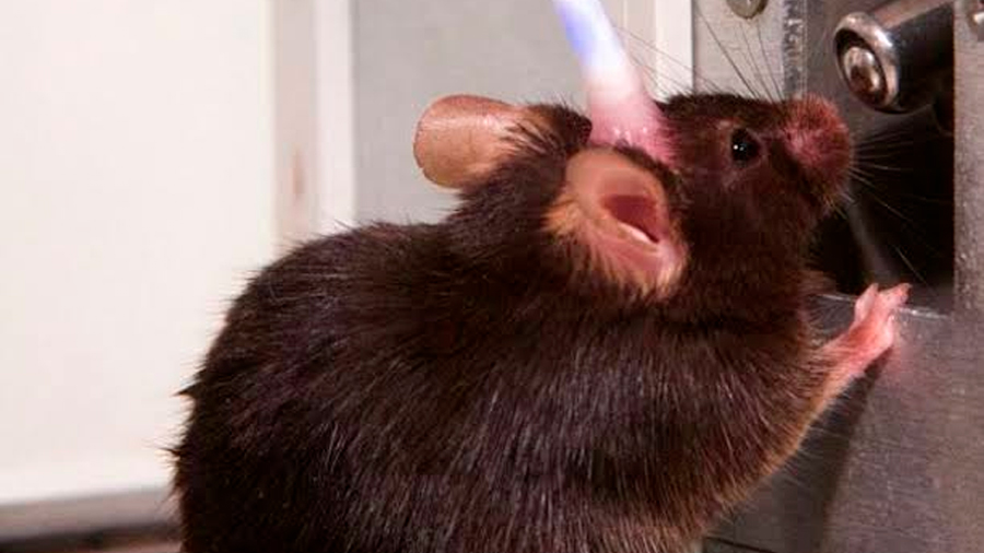 Ratones que beben refrescos cada día tienen tumores más grandes que los que beben agua