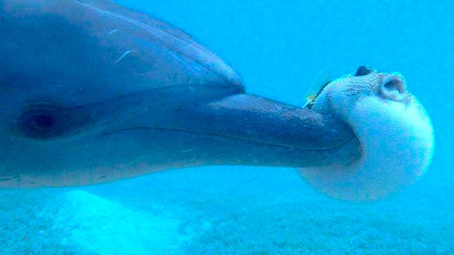 Delfines se drogan al consumir pez globo, descubren científicos