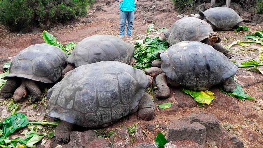 Devuelven a su hábitat natural a 309 tortugas gigantes en las islas Galápagos