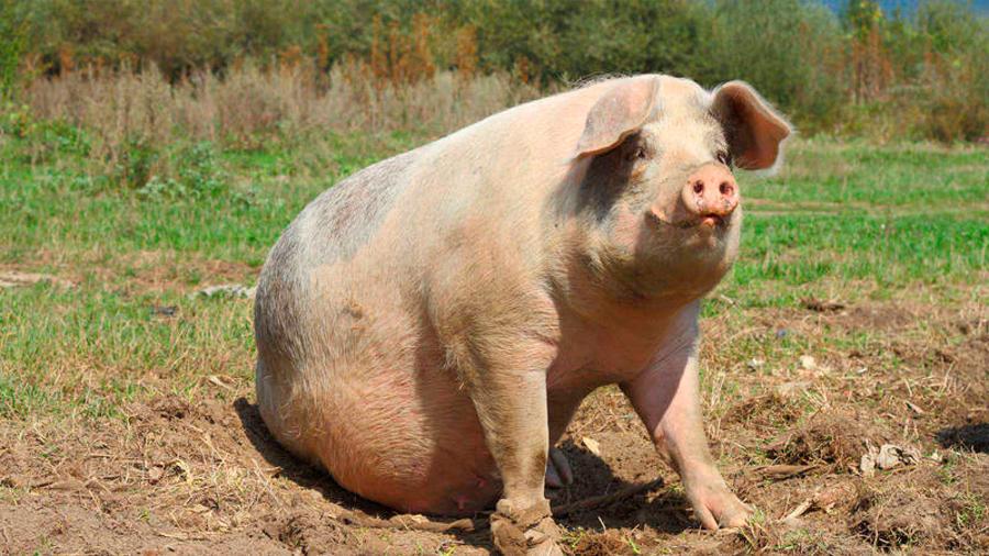 China está criando cerdos gigantes del tamaño de osos polares