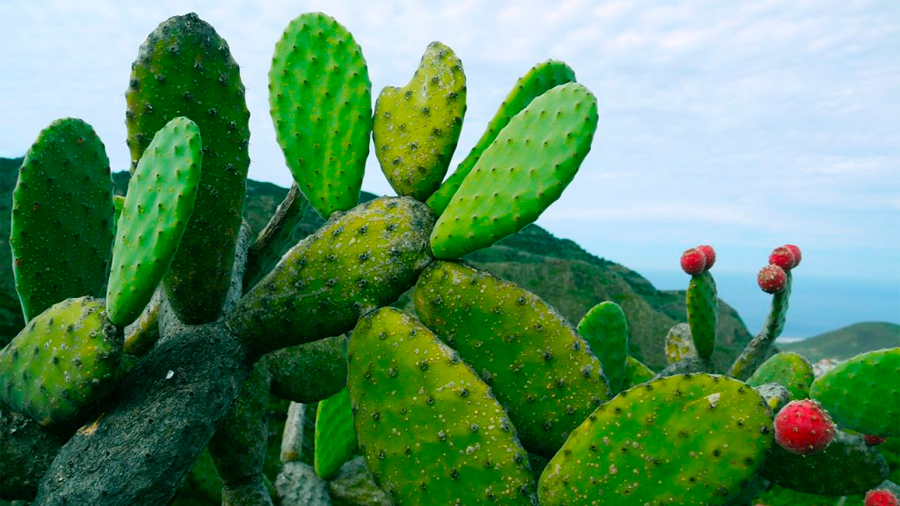 El nopal, la materia prima de un nuevo plástico biodegradable que desarrolló una mexicana