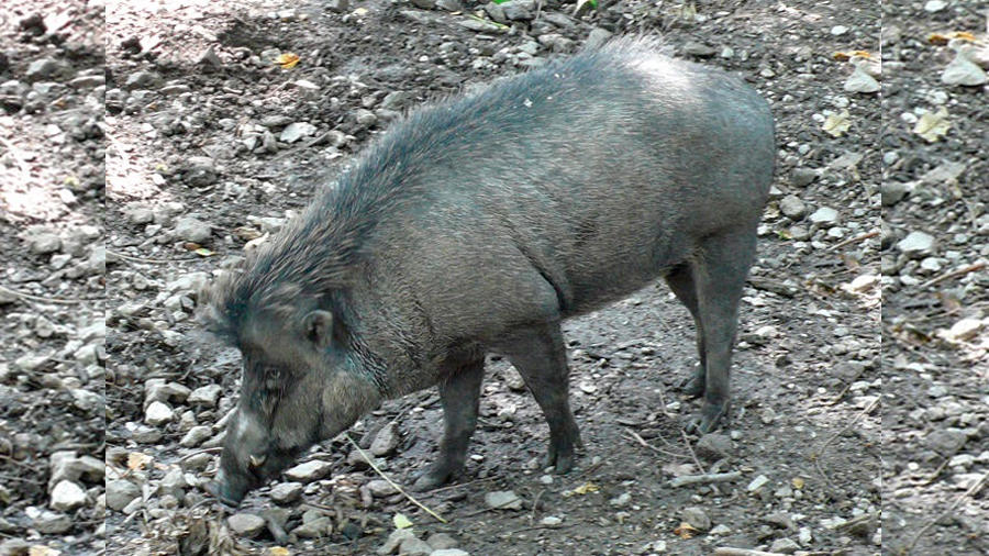 Captan cerdos cavando agujeros con corteza y palos