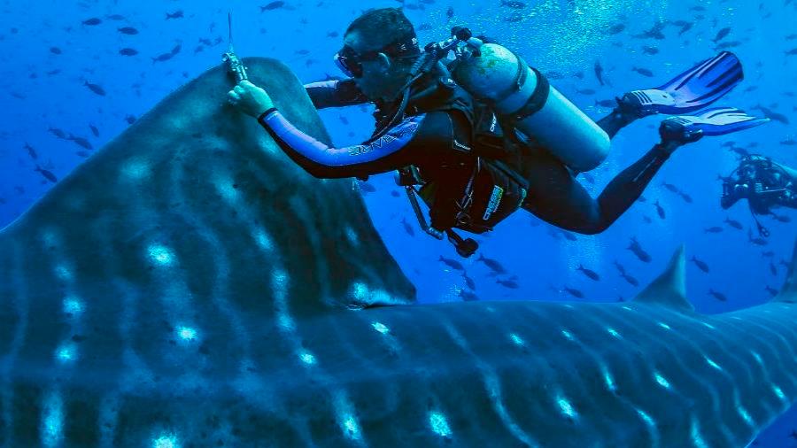 Buscan descifrar en Galápagos los misterios del pez más grande del mundo el tiburón ballena