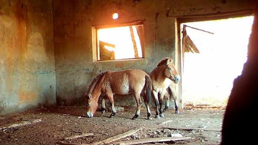 Chernobyl se convierte en santuario para una rara especie de caballo