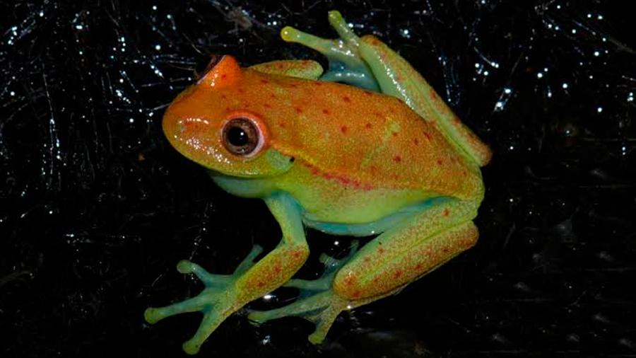 El hongo asesino de los anfibios llega a las tierras bajas de la Amazonía