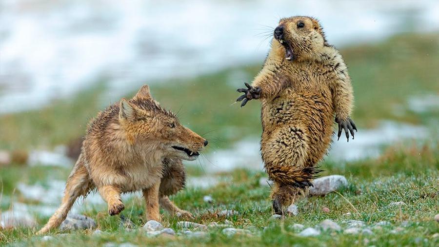 Vida Silvestre 2019: el encuentro mortal entre un zorro y una marmota, la espectacular imagen ganadora del concurso