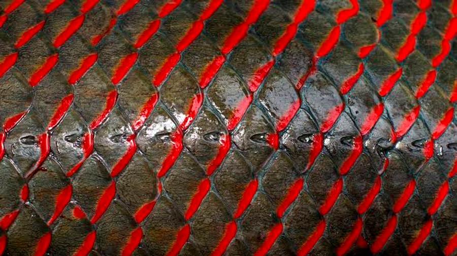 Las escamas de un pez amazónico inspiran nuevos chalecos antibalas
