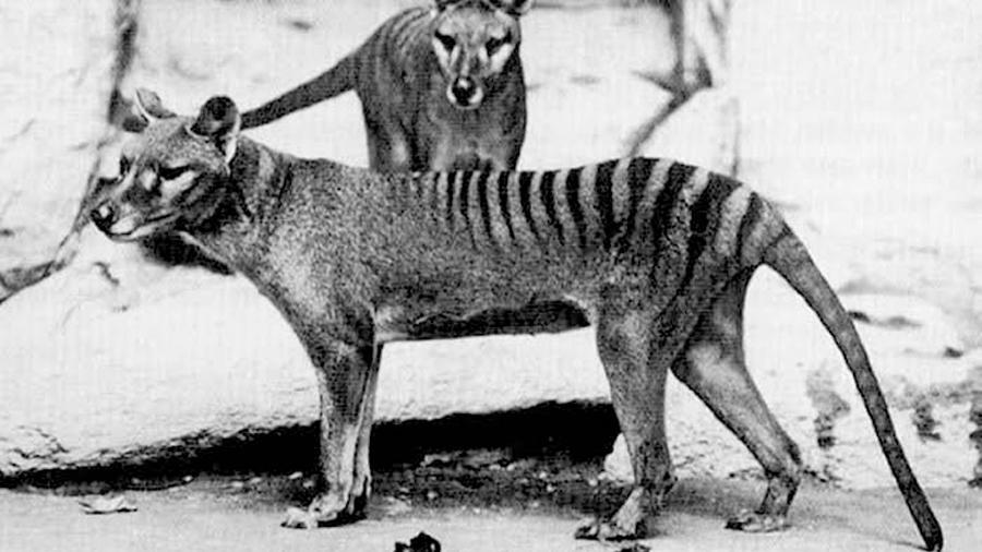 Avistamientos de tigre de Tasmania reavivan la esperanza para la especie