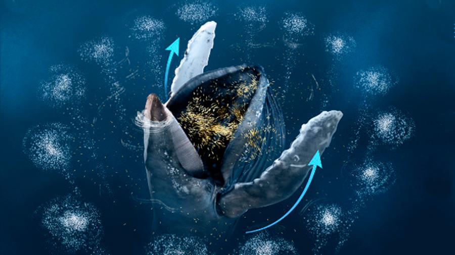 Por primera vez se observan ballenas jorobadas usando sus aletas pectorales para cazar