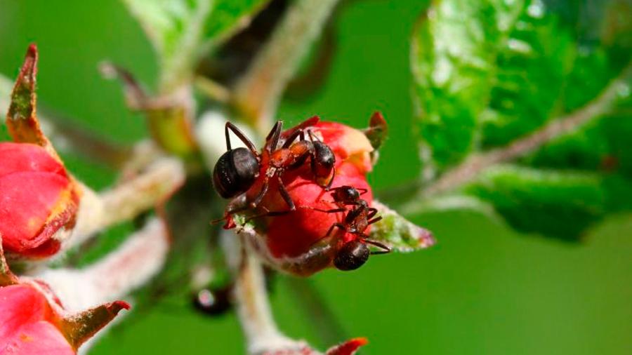 Las hormigas luchan contra las enfermedades de las plantas
