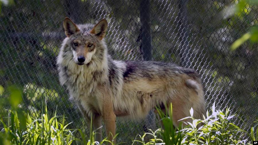 Supervivencia de lobo mexicano requiere nuevo enfoque