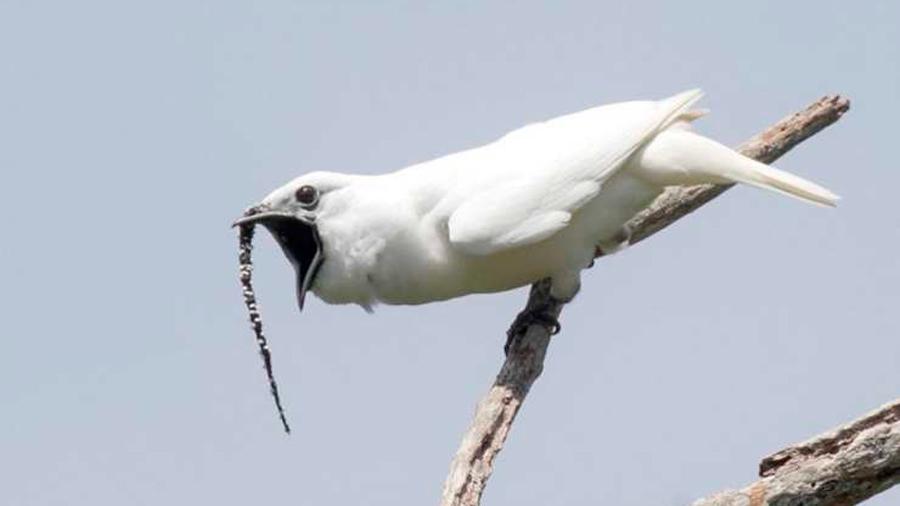 El heavy metal de la naturaleza: así es el sonido de ave más fuerte jamás grabado