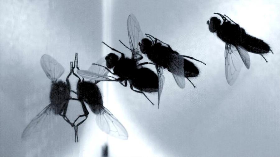 La fascinante maniobra de las moscas para posarse y andar sobre el techo