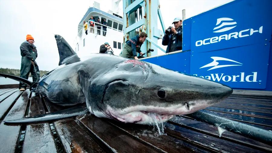 Hallan tiburón blanco de 4 metros con mordida hecha por animal más grande