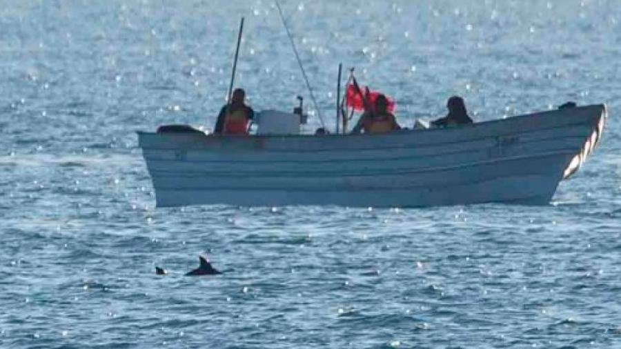 México: fotografían a vaquita marina cerca de una embarcación en su área de refugio