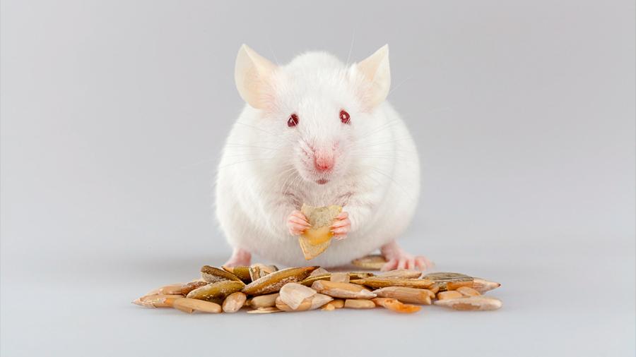 Alimentos con exceso de sal causan síntomas de enfermedad de Alzheimer en ratones