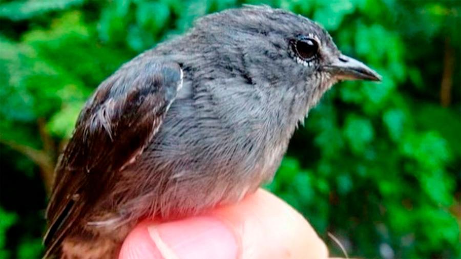 Descubren nueva especie de ave: el pájaro carpintero de anteojos