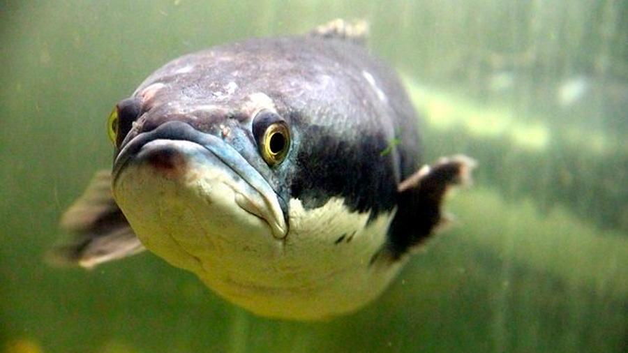 Los peces cabeza de serpiente pueden sobrevivir en la tierra