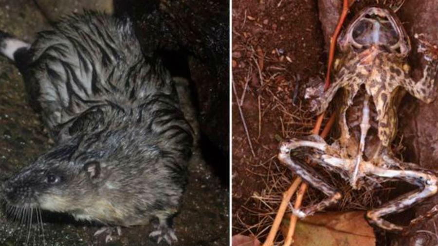 "Astutas ratas diseccionan con ""precisión quirúrgica"" sapos venenosos para comerse su corazón"
