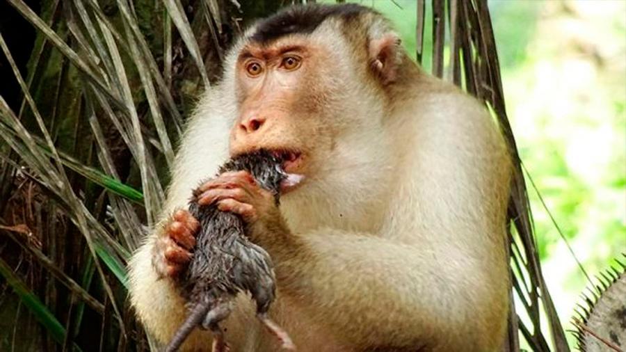 Monos que comen ratas: le extraña dieta que sorprende a la ciencia