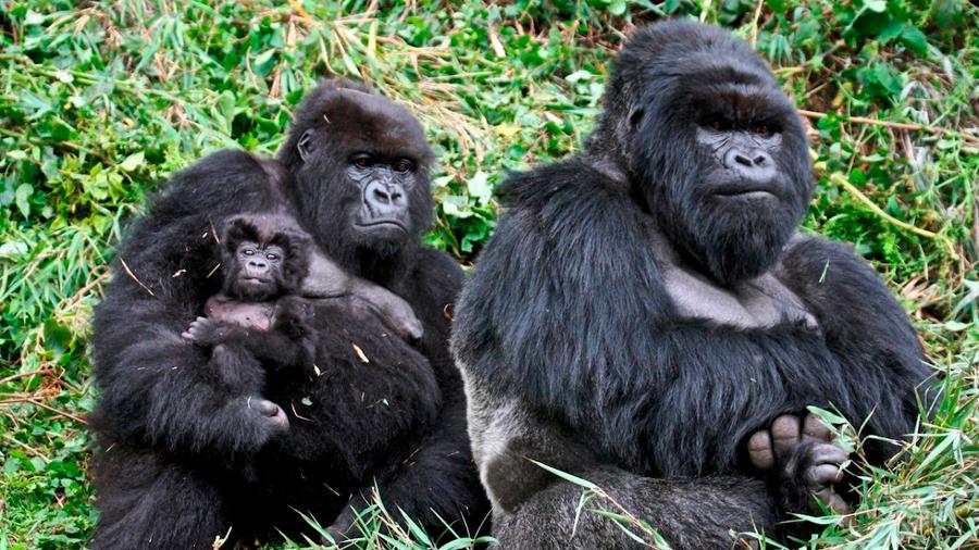La población de gorilas de montaña aumentó, aunque aún es vulnerable