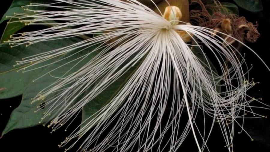 """Inga, un """"árbol milagroso"""" que puede ayudar a combatir la destrucción de los bosques"""