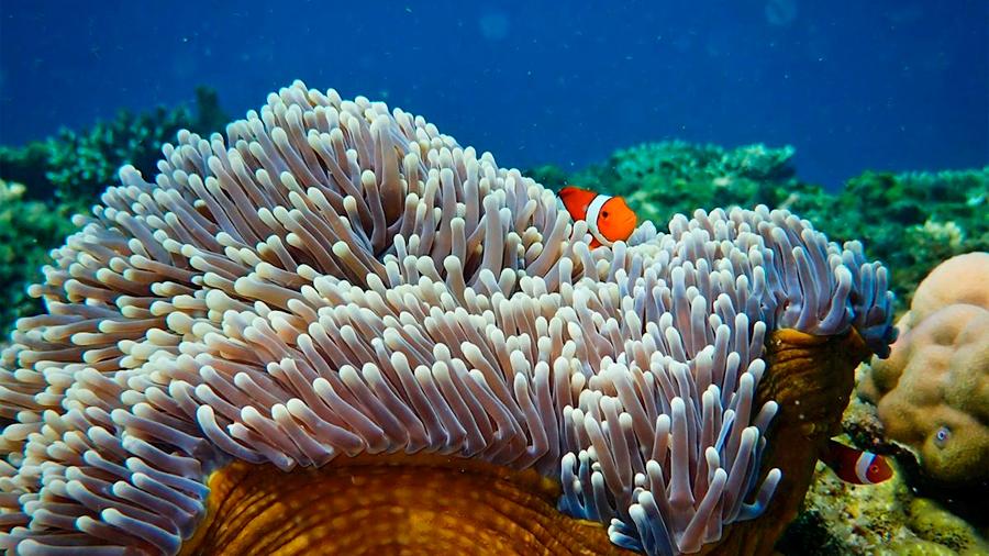 Proponen restaurar corales con sonidos atractivos para los peces