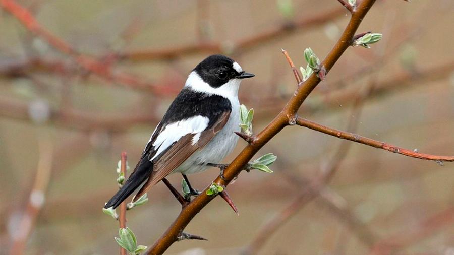La evolución resetea el reloj anual de las aves migratorias