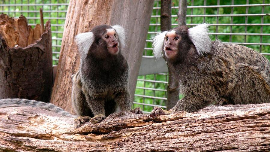 Los monos titíes aprenden un nuevo dialecto cuando se mudan