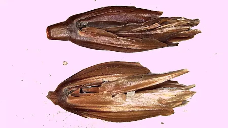 Descifrado el genoma del 'trigo del Faraón'