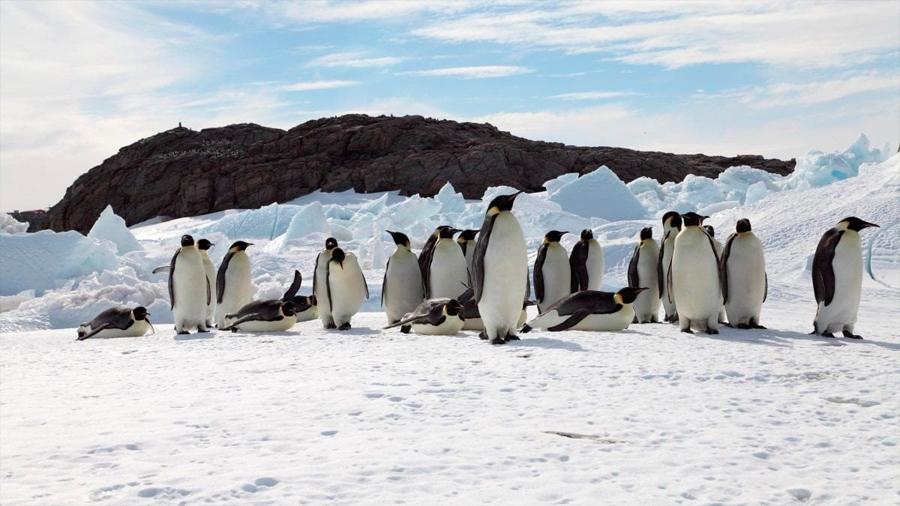 El pingüino emperador se encamina a la extinción por el calentamiento