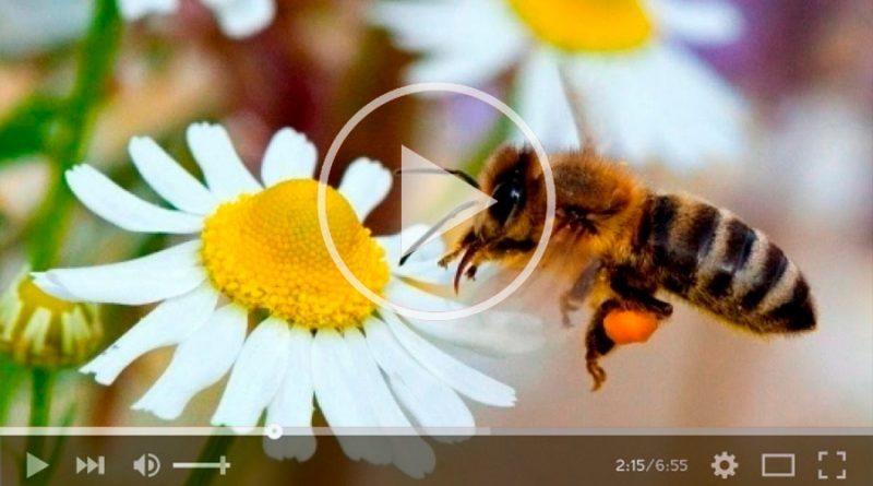 Las abejas fueron declaradas el ser vivo más importante del planeta