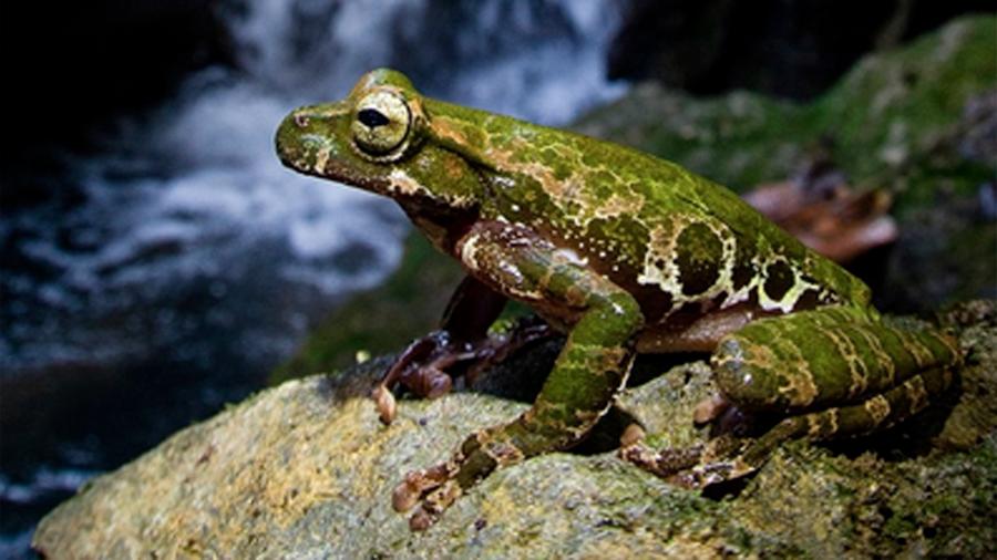 Investigadores descubren nueva especie rana de gran tamaño en bosque de México