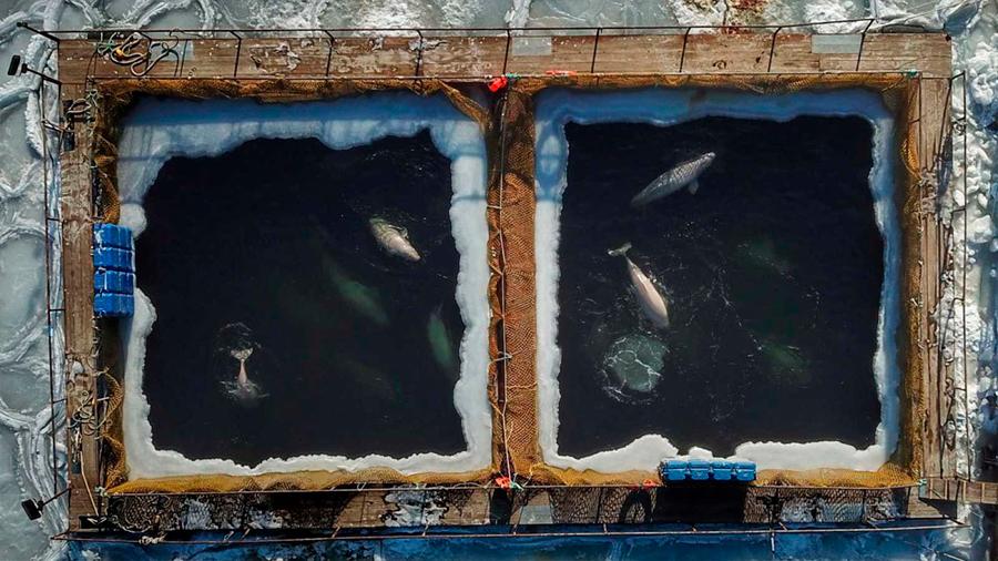 "Rusia devuelve a su hábitat a las últimas belugas ""encarceladas"""
