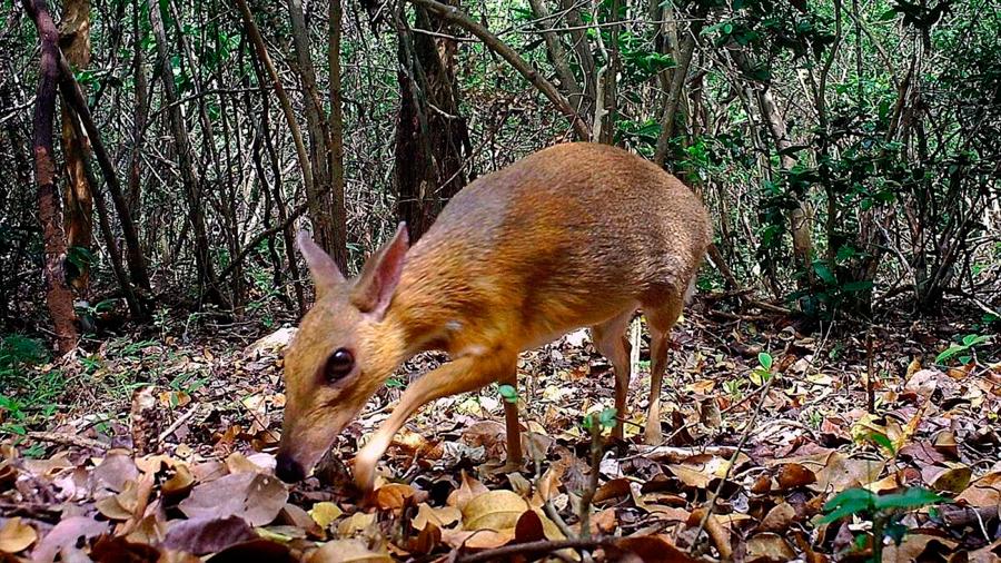 Descubren un ciervo ratón, la rara especie desaparecida desde hace décadas