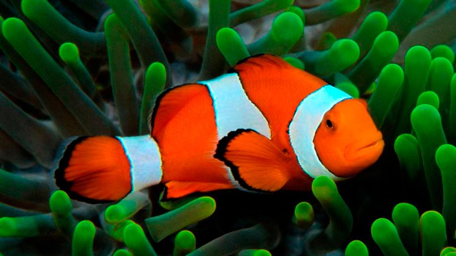 El pez que inspiró a 'Buscando a Nemo' percibe y usa luz ultravioleta