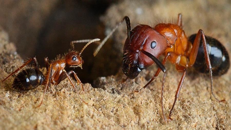 Un interruptor epigenético convierte a hormigas soldado en obreras