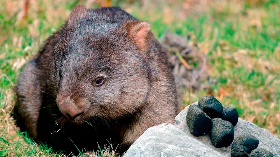 Científicos explican por qué los wombats generan heces en forma de cubo