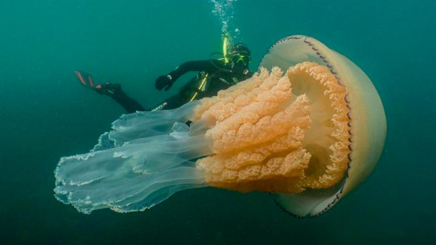 Descubren una medusa gigante… ¡del tamaño de una persona!