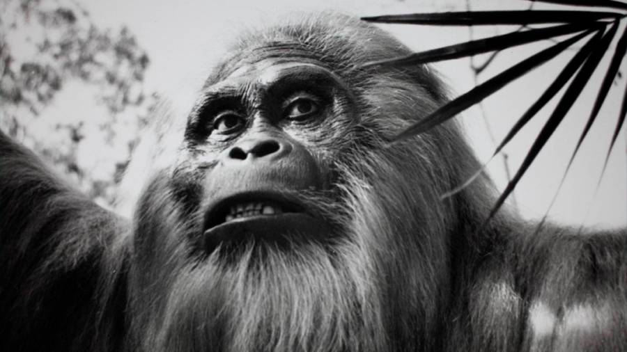 Científicos obtienen moléculas de hace 1.9 millones de años del primate más grande de la Tierra