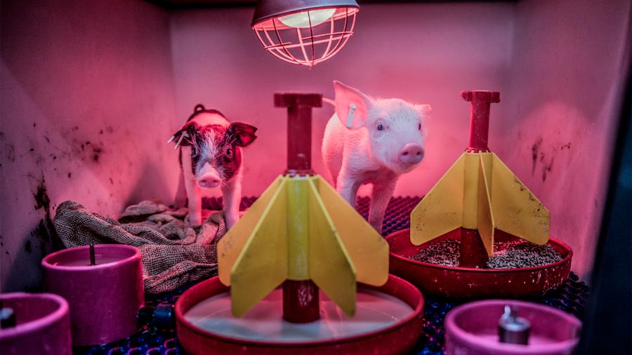 Cerdos en miniatura podrían resolver la falta de órganos para trasplante