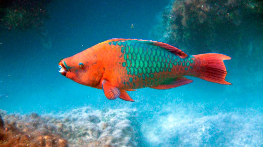 Los peces loro ingresan a la lista de especies mexicanas en riesgo