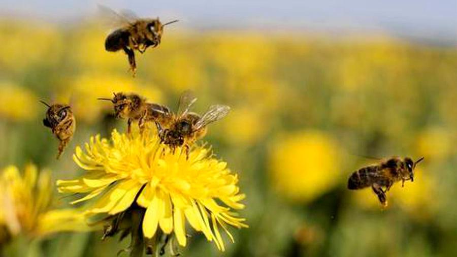 El ADN revela las flores favoritas de las abejas
