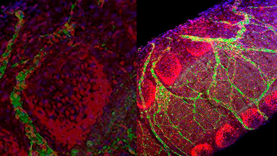 Obtienen en embriones de ratón pulmones funcionales vía el trasplante de células madre