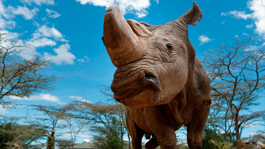 Crear cuernos de rinoceronte falsos en busca de salvar a esta especie de la extinción