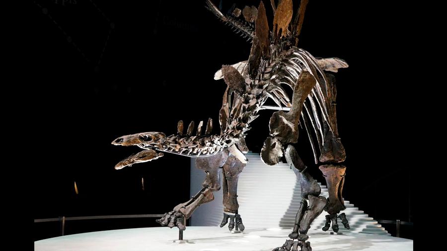 El estegosaurio más completo de Europa fue hallado por sorpresa en un almacén